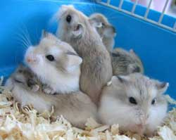 Plihara Hamster Yuk..!!!